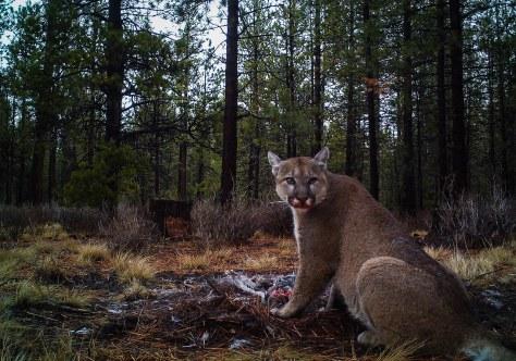Puma Dinnertime