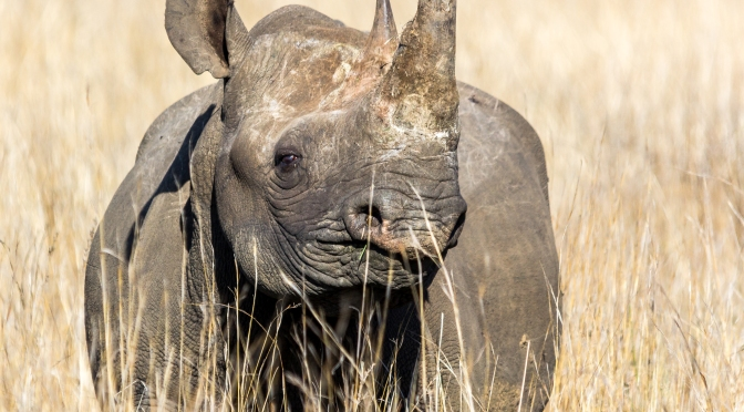 It's Been 25 Years But Black Rhinos are Back in Tribal Africa