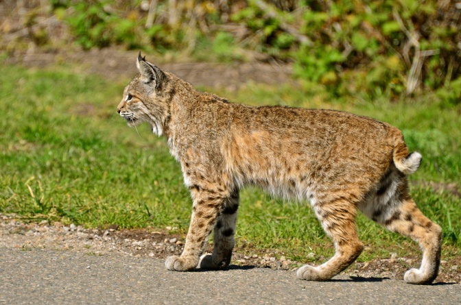 There's No More Bobcat Trapping in California