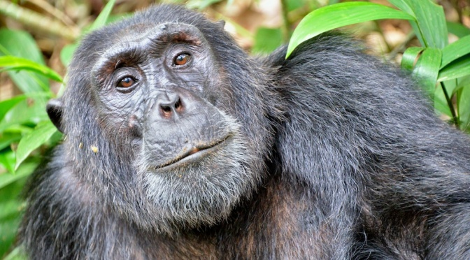What Does It Mean For Every Chimp, Even the Ones in Captivity, to be 'Endangered'?