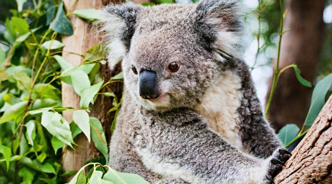 The Two Moves Australia Took to Help Koalas and Tasmanian Devils