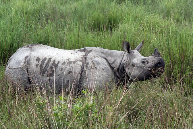 Nepal's Rhinos on the Rise Thanks to Anti-Poaching Measures