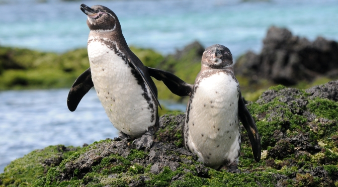 Climate Change May Actually Benefit Endangered Galápagos Penguins