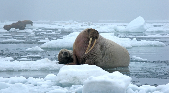 Why Thousands of Walruses Were Forced Ashore in Alaska This Summer