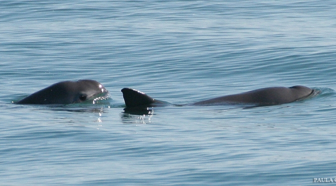 Only 97 Vaquita Porpoises Left in the World and Declining Fast