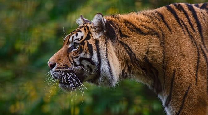 Bhutan is Home to More Tigers Than Previously Thought