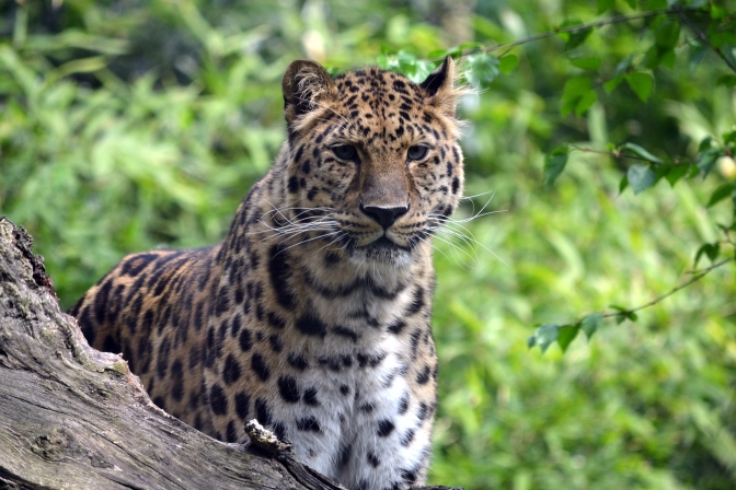 World's Most Endangered Big Cat May Be Coming Back From the Brink of Extinction
