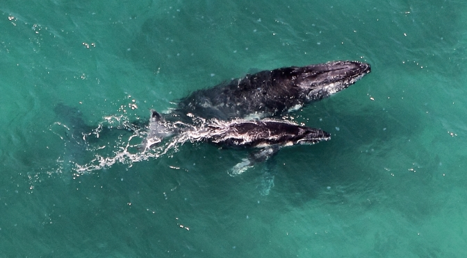 Humpback Whales Are Making a Huge Comeback in Australia