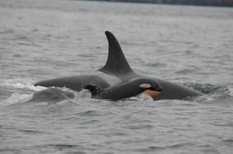 J53 by David Ellifrit, Center For Whale Research