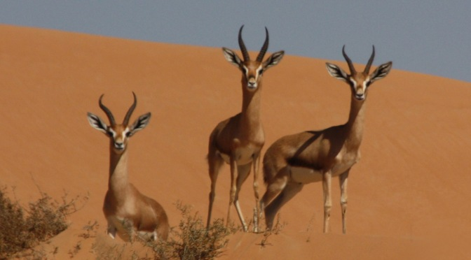 The Mountain Gazelle Has Become Endangered After a Drastic Population Decline