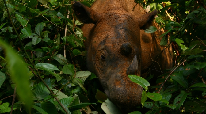 3 Steps Vital to Saving the Sumatran Rhino, Recently Declared Extinct in Malaysia