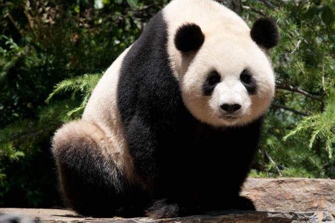 Illegal Logging is Destroying Panda Habitats in China