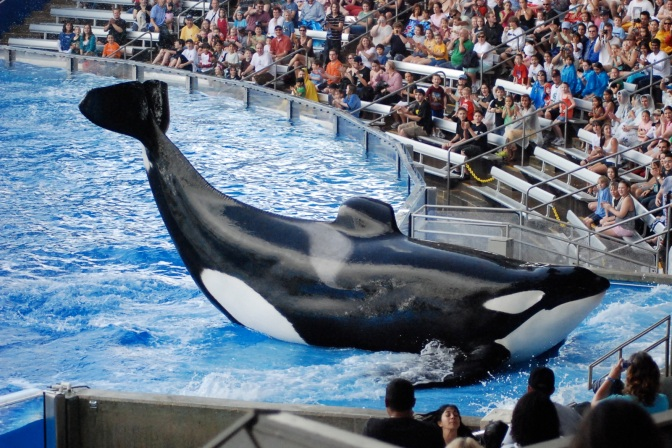 SeaWorld San Diego To End Orca Shows and California Bans Captive Breeding