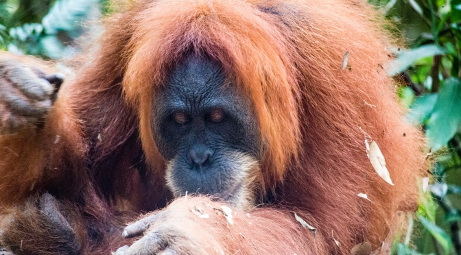 One Third of World's Orangutans Are Threatened By Indonesia's Forest Fires