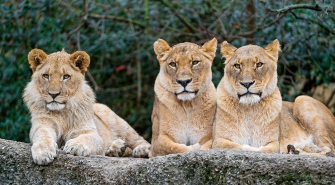 U.S. Hopes to Extend Its Endangered Species Protections to Lions in Africa