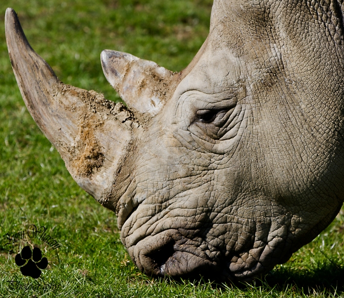 South Africa Votes to Make Domestic Rhino Horn Trade Legal Once Again