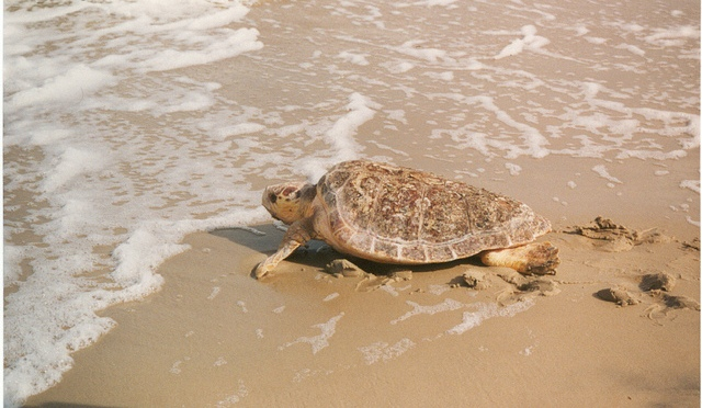Female Turtles Are Outnumbering Males Because of Rising Temperatures