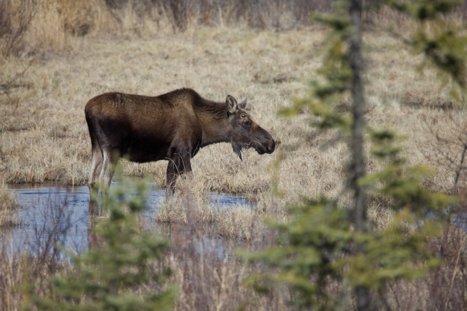Climate Change May Benefit Moose and Snowshoe Hares