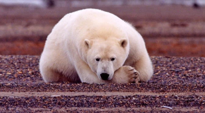 Polar Bears Are Spending More Time on Land During the Summer