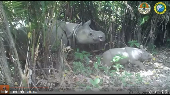 Caught on Camera: Extremely Rare Javan Rhino Babies [VIDEO]