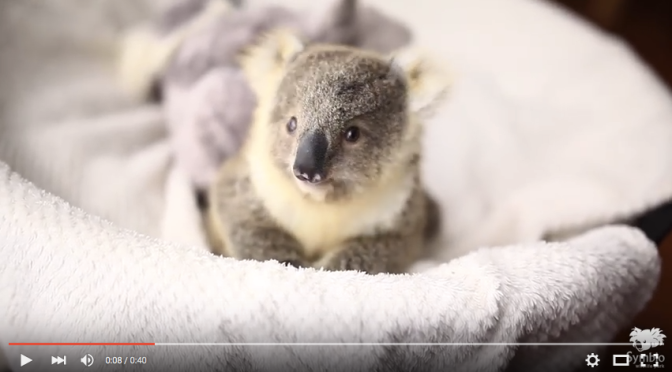 A Koala Baby So Adorable, It Will Instantly Make Your Day [VIDEO]