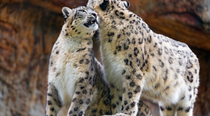 What is the Snow Leopard's Biggest Threat?