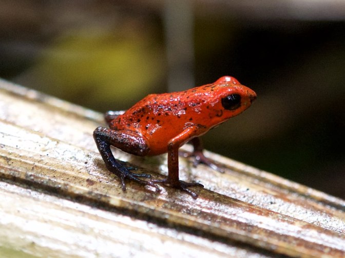 Tropical Amphibians Face Extinction Within the Next Century