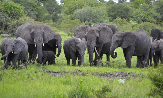 How Elephant Societies are Surviving the Poaching Crisis
