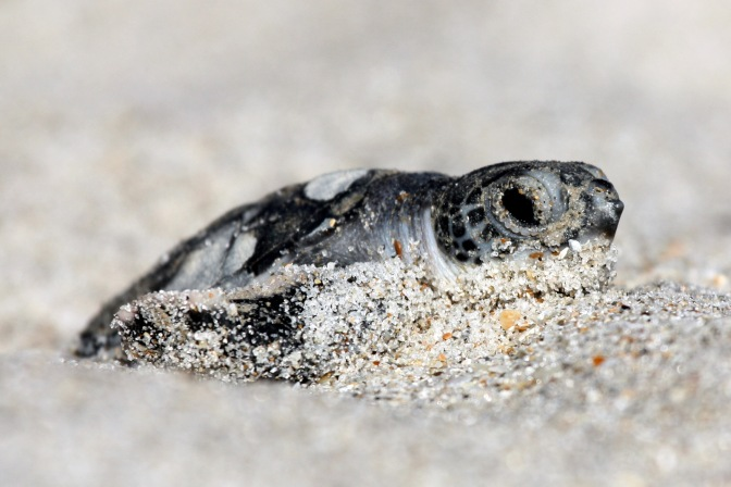 Record Numbers of Endangered Green Sea Turtles Return to Florida to Nest