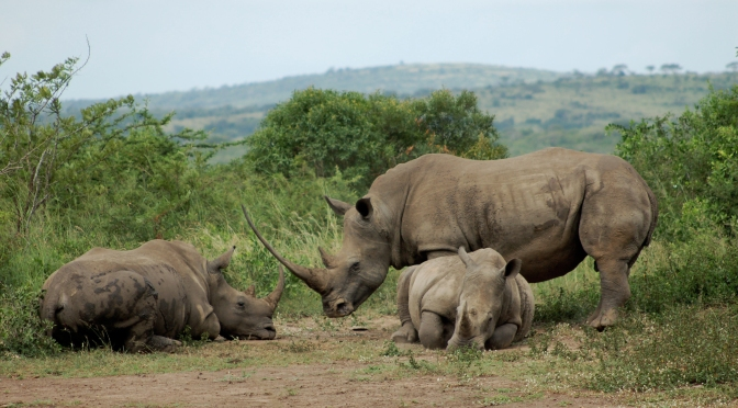 The Declining Bone Health of Larger Rhinos