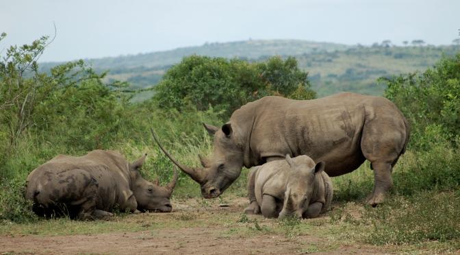 The Declining Bone Health of Larger Rhinos