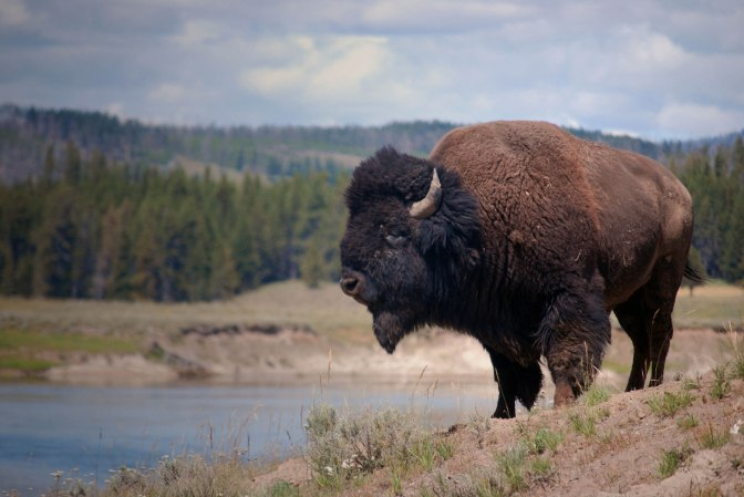 The Bison Has Been Named the National Mammal of the US