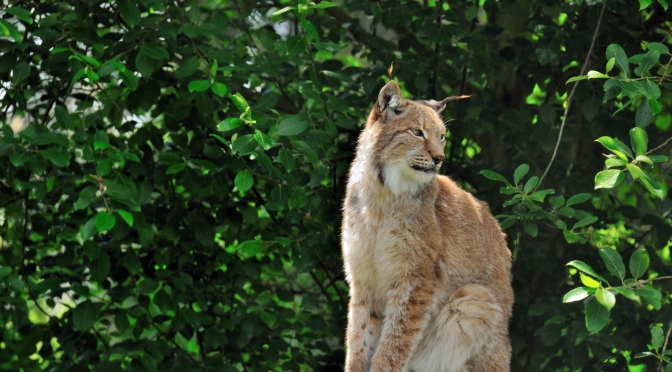 There Are Now More Than 400 Iberian Lynx, One of the World's Most Endangered Cats